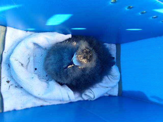 Hawaiian petrel prepped for it's helicopter ride. Photo credit: Andre Raine/Kaua'i Endangered Seabird Recovery Project.
