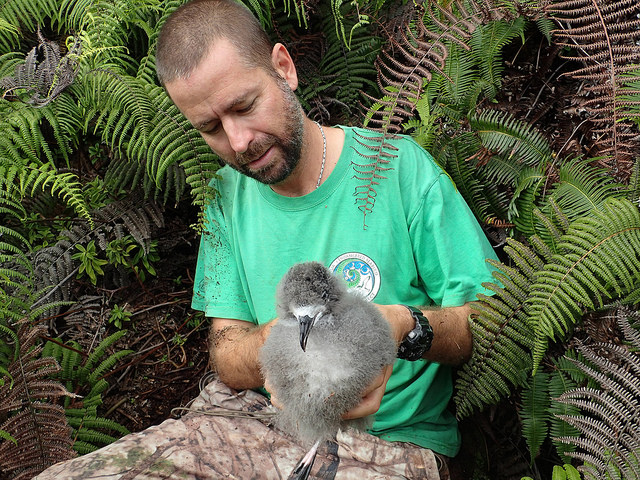 Hawaiian petrel being carefully removed from its burrow. Photo credit: Michael McFarlin/Kaua'i Endangered Seabird Recovery Project.