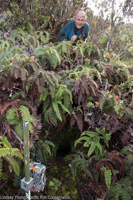 A Hawaiian petrel burrow. Photo credit: Linsday Young/Pacific Rim Conservation