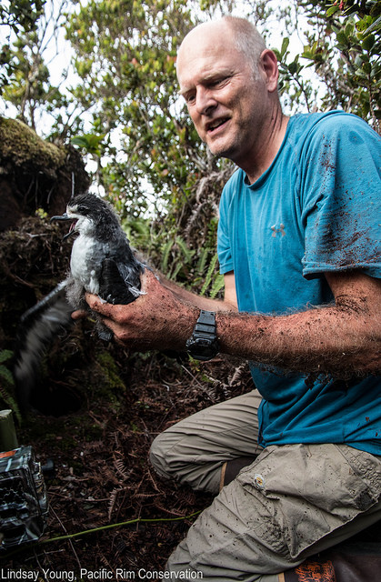 The chicks were carefully removed by hand, placed into pet carriers and hiked up to the tops of peaks where the helicopters picked them up. Photo credit: Linsday Young/Pacific Rim Conservation.