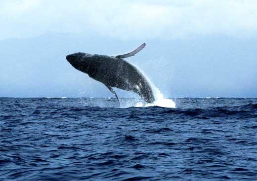 Humback whale. Photo source: wikimedia.org/wikipedia/commons/5/5b/MauiActivities%26Tours.