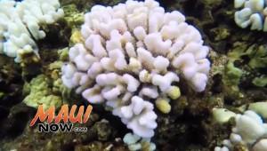 Coral bleaching at Molokini. Image credit: DLNR.