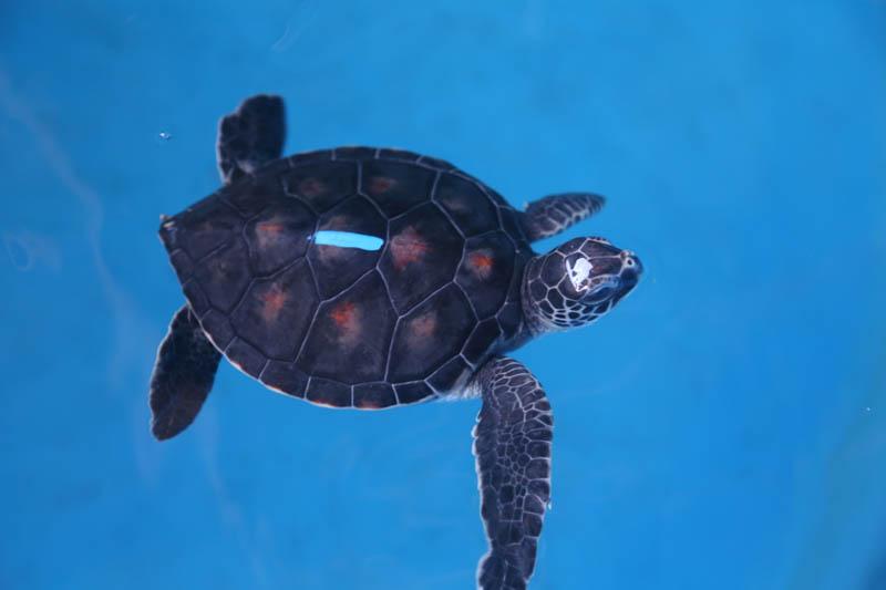 Turtle #1 is described as a sweetheart, shy and passive. Potential names include: Laʻi (tranquil); Maluhia (peace, quiet, serenity); Kuʻuipohilaliha (shy, sweetheart); Hilahila (bashful, shy); ūpē (humble, bashful); Makalehakananiokawai (to wonder the beauty of the ocean). Photo credit: Maui Ocean Center.