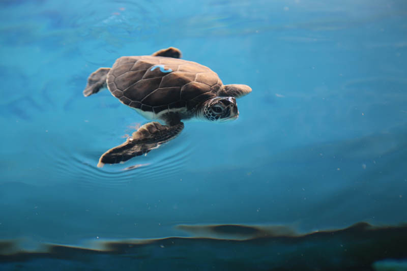 Turtle #2 is described as reserved, chill and endearing. Potential names include: Hiwahiwa (precious, beloved and darling); Mālie (calm, quiet, still and gentle); Hoʻāloha lohaʻolu (endearing and cool); Keanu (chill breeze); Mōhalu (at ease, relaxed); Makalehakananiokawai (to wonder the beauty of the ocean).
