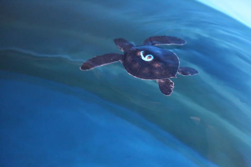 turtle 6 2015