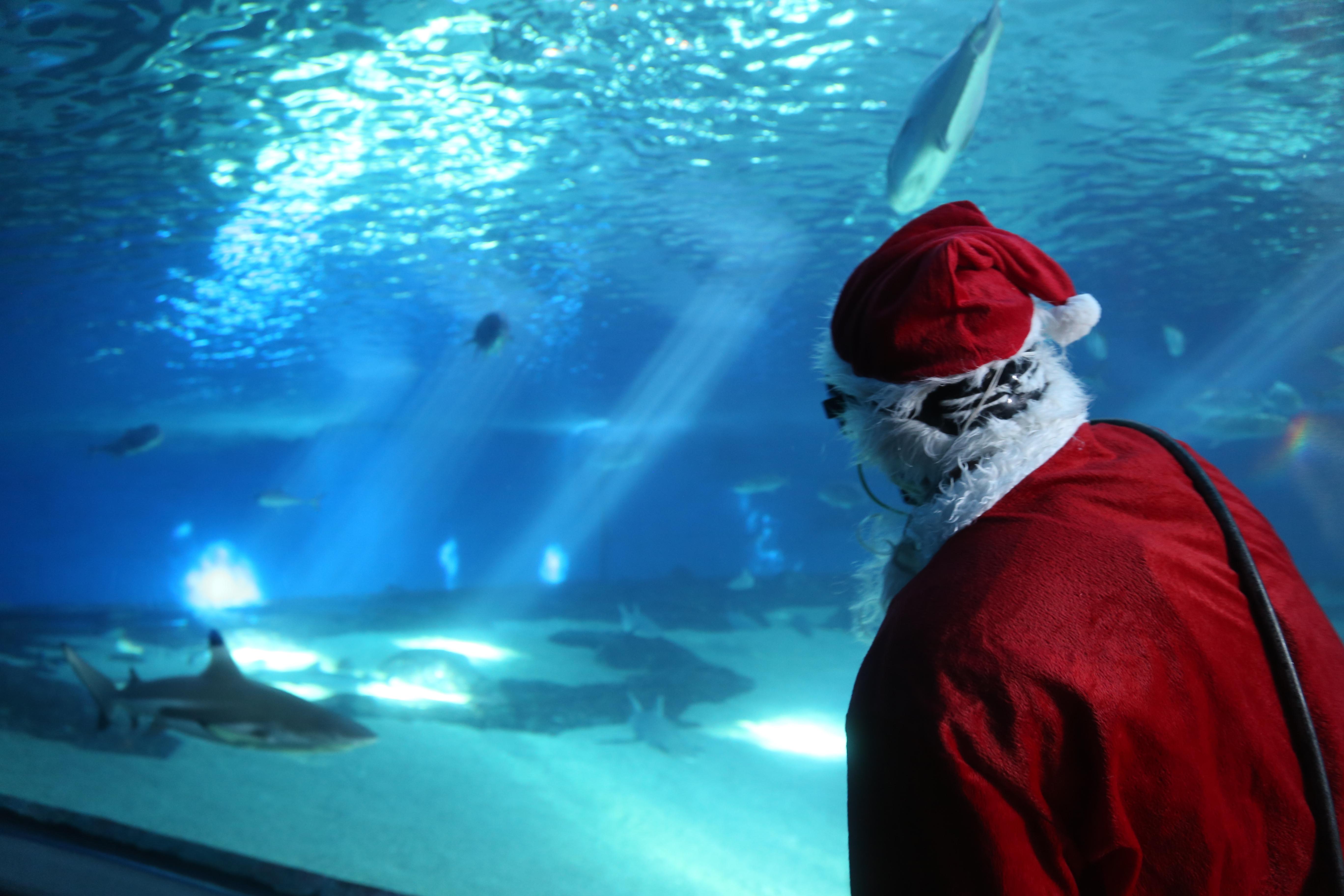 Scuba Claus celebrates the 12 days of FISH-mas at the Maui Ocean Center. Maui OCean Center photo.