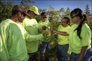 Pictured left to right: Monsanto Molokaʻi's Freddie Maniago, Chad Tangonan, Kenneth Kaai, Patrick Kansana, and Kali Arce document flowers and seeds of the ʻohai (Sesbania arborea) plant, an endangered species planted on the farm as part of the company's ongoing conservation practices efforts in building back rare and declining habitats.