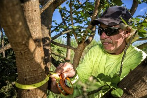 Kenneth Kaai, (a conservation team member) at Monsanto Molokaʻi, takes basal measurement on an ʻohai (Sesbania arborea) plant, an endangered native species, to document its growth.