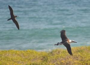Albatross flying photo credit: Tingman. Photo courtesy: DLNR.