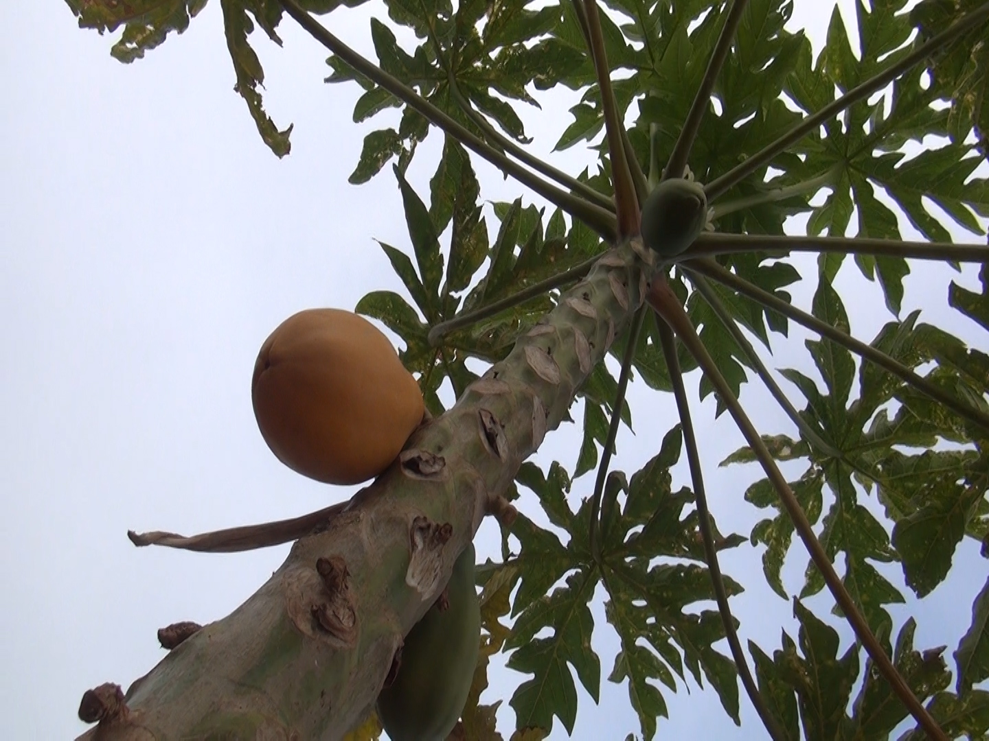 Hawaiʻi Papayas Not Involved in Mainland SalmonellaOutbreak