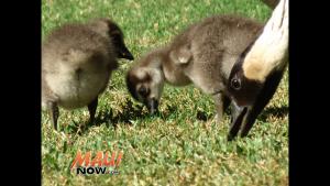 Baby nēnē born at Kahili Golf Course in Waikapū, Jan. 2016. Photo credit: Kahili Golf Course.
