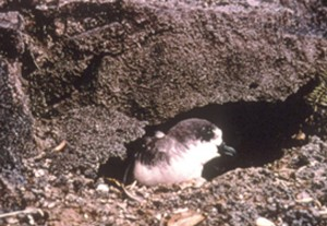 `ua`u--one of many endangered species that depend on the summit for survival. Photo credit: Haleakalā National Park.