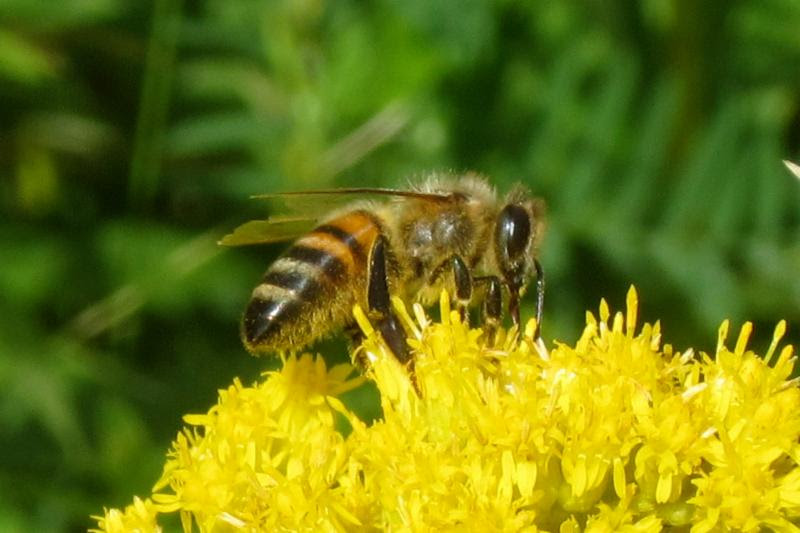 Image provided by the Maui Bee Conference.