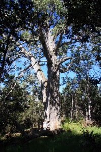 Image source: dlnr.hawaii.gov/forestry/info/big-tree/koa
