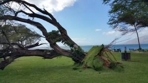 Fallen tree at Kamaʻole 1, Feb. 16, 2016. Photo credit: Jesse Tellez.