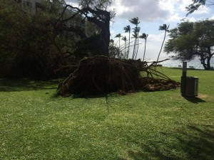 Fallen tree at Kamaʻole 1, Feb. 16, 2016. Photo credit: Timothy Lara.