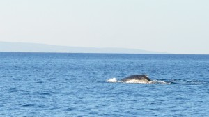A humpback whale surfaces near Maui during a joint patrol between the Coast Guard and Hawaii Department of Land and Natural Resources, Feb. 11, 2016. Coast Guard members from Station Maui and the USCGC Kiska (WPB 1336) with officers from the DLNR frequently conduct patrols in the Hawaiian Islands Humpback Whale National Marine Sanctuary during the early part of the year to ensure the safety of mariners and the whales following their migration from Alaska to engage in mating and calving. (U.S. Coast Guard photo by Chief Petty Officer Sara Mooers/Released)