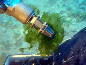 New species of deep-water algae Ulva ohiohilulu collected by a submersible of the Hawaiʻi Undersea Research Laboratory at 304 feet from west Maui. (Credit: HURL archives, 2009).