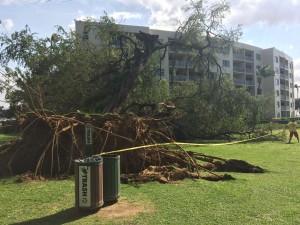 Fallen tree at Kamaʻole 1, Feb. 16, 2016. Photo credit: Nicholas Batres.