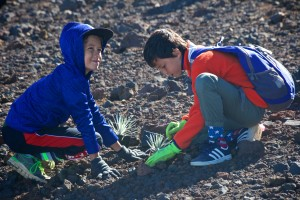 Students planting silverswords at Haleakalā.