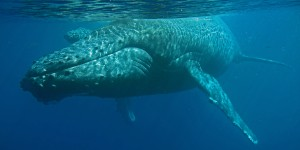 Robert and Ellen Raimo caught these images of a mom and baby humpback swimming in Maui waters on March 6, 2016. Courtesy photo.