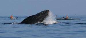 Humpback whale photographed by Robert Raimo (Feb. 2016). Courtesy photo.