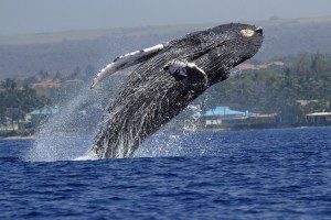 Ellen Raimo captured this image of breaching humpback swimming in Maui waters on March 3, 2016. She called it the best day of the season for whale photography with lots of activity reported on the water that day. Courtesy photo.