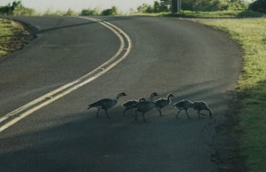 Nēnē crossing the road on Kauaʻi. Photo credit: DLNR and Kaua'i National Wildlife Refuge.