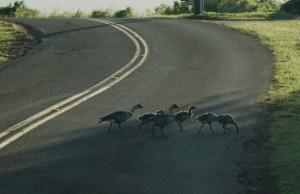 Nēnē crossing the road on Kauaʻi. Photo credit: DLNR and Kaua'i National Wildlife Refuge.