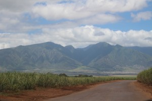 HC&S sugar cane fields cover the Central Maui plain. The company announced plans to stop farming sugar at the end of 2016, and will instead pursue a diversified agricultural model for the 36,000 acres presently in cultivation. Photo by Wendy Osher.