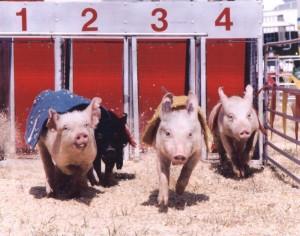 Pig Racing. Photo credit: E.K. Fernandez.