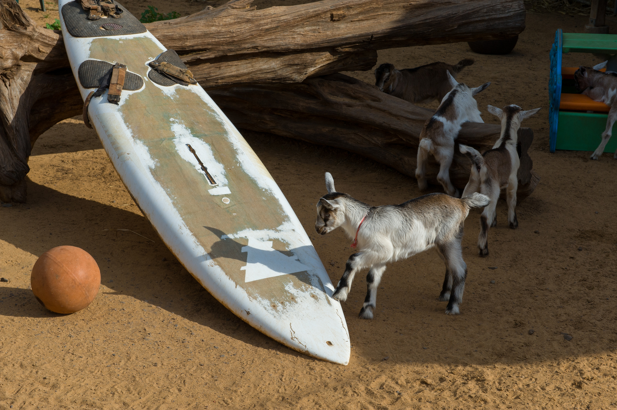 Surfing Goat Dairy Farm off Omaopio Road. Photo courtesy of Brian Lauer.