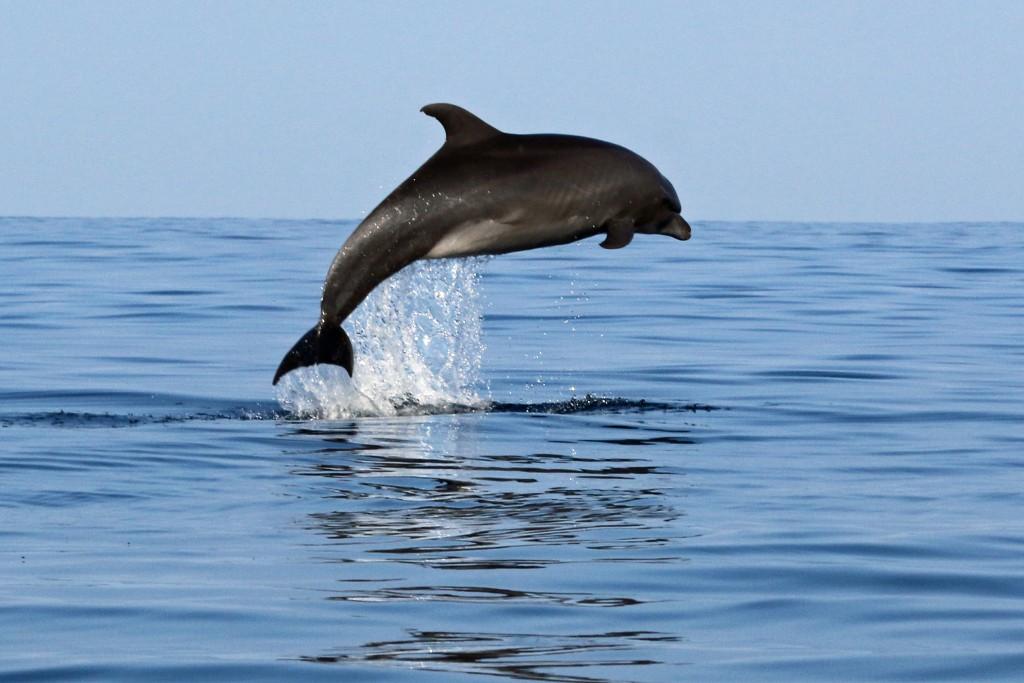 Bottlenose dolphin (4.4.16) Photo credit: Robert Raimo.