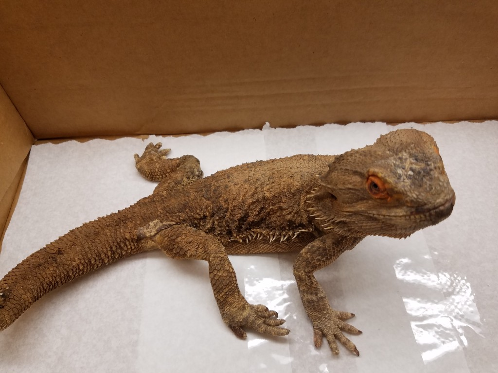 Foot long bearded dragon lizard captured in Waiʻanae. Photo credit: Hawaiʻi Department of Agriculture.