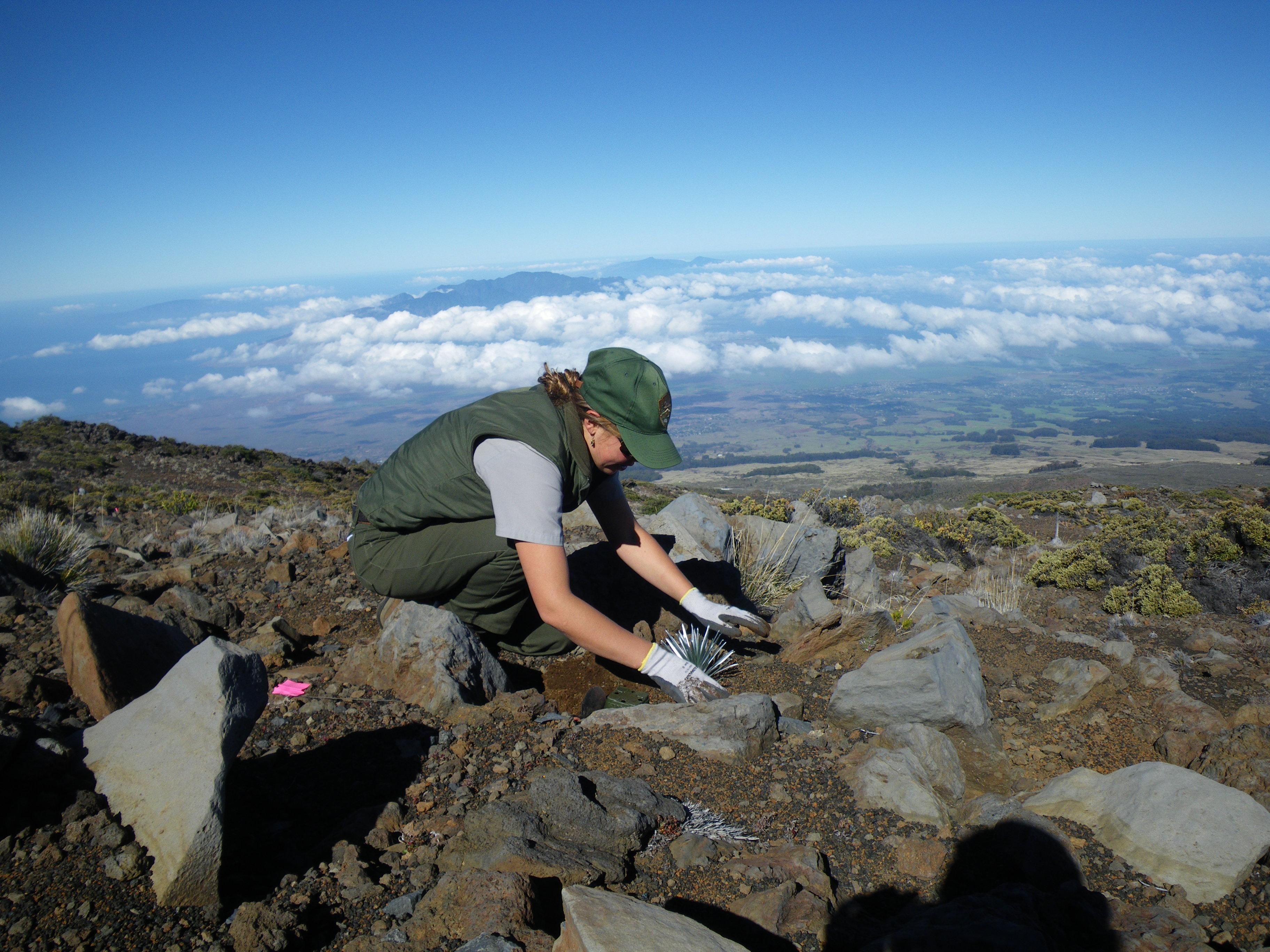 Silversword outplanting. Photo credit: Haleakalā National Park.