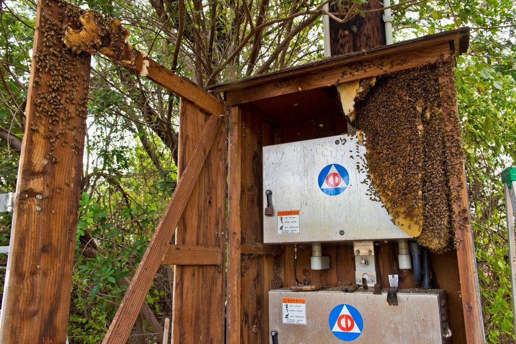 Beehive removal on a Civil Defense siren at Haycraft Beach Park in Māʻalaea. (6.2.2016) (Photo: Ryan Piros)