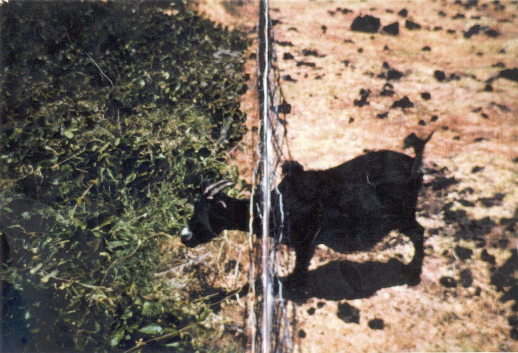 Goat in fence. Photo credit: Haleakalā National Park.