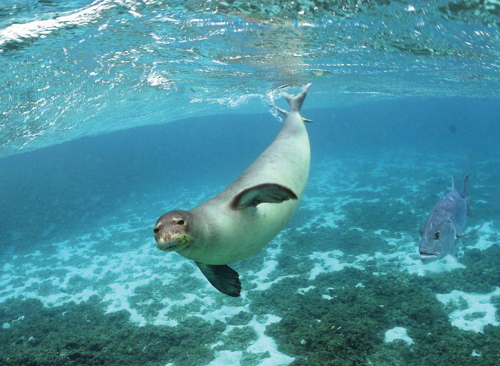 The Hawaiian monk seal is one of the most critically endangered marine mammals in the United States. Photo at PapahānaumokuākeaCredit: James Watt