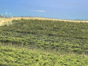 16 acres under vine in 'Ulupalakua. Photo by Kiaora Bohlool.