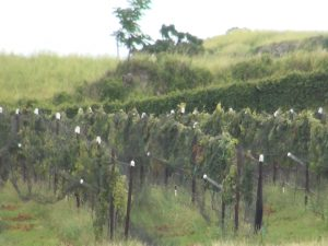 Grapes grow at the vineyard in 'Ulupalakua. Photo by Kiaora Bohlool.