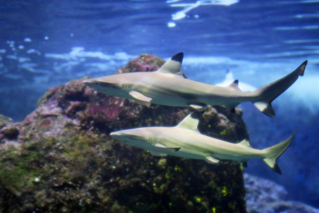Blacktip sharks. Courtesy photo.