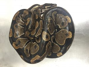 A non-venomous ball python was found on Maui on July 1, 2016. Hawai'i Department of Agriculture photo.