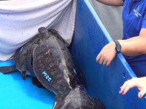 Hawaiian green sea turtle, ready to be released to the ocean. Photo by Kiaora Bohlool.
