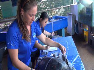 Aquarists Larissa Treese and Nadine Suyama measure a Hawaiian green sea turtle before it's released. Photo by Kiaora Bohlool.