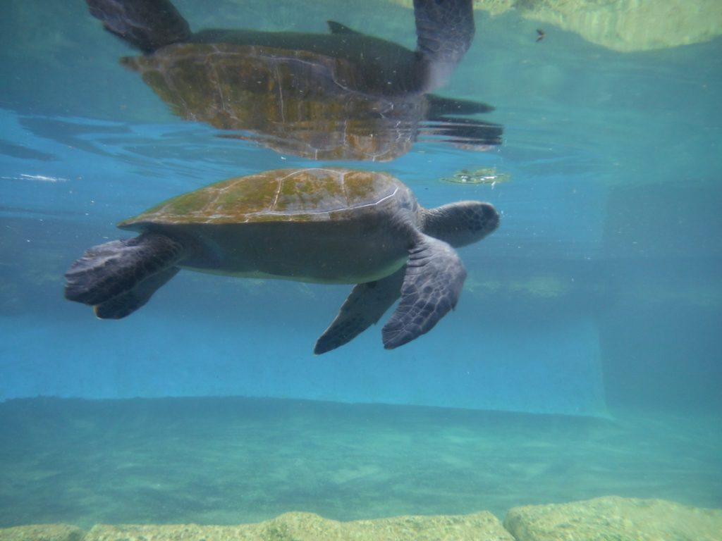 Alaula Turtle 2016. Maui Ocean Center, turtle release planned.
