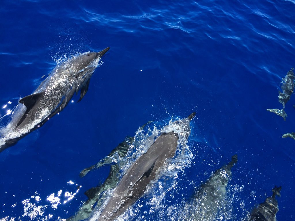 Spinner dolphins 8.21.16. Photo credit: Kevin Roe