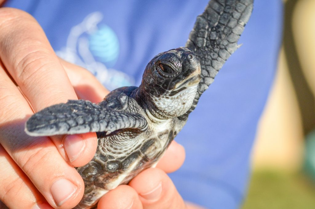 Pa'ani Hatchling 2014. Maui Ocean Center, turtle release planned.