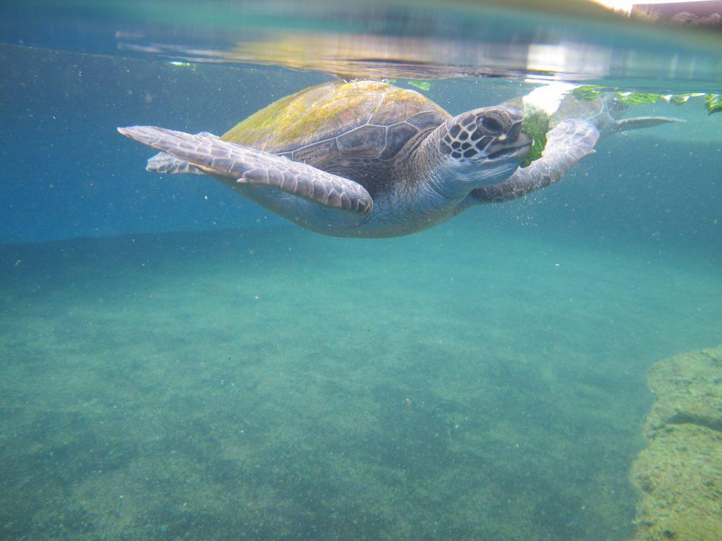 Pa'ani Turtle 2016. Maui Ocean Center, turtle release planned.
