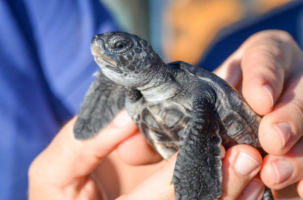 Makoa Hatchling 2014. Maui Ocean Center, turtle release planned.
