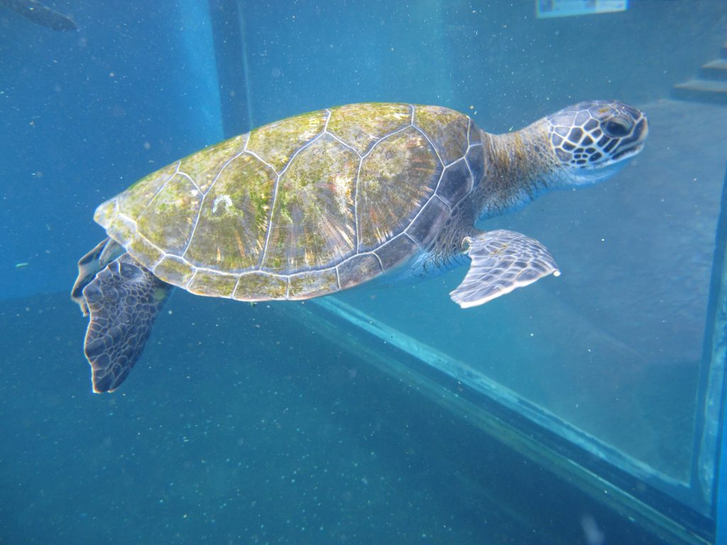 Makoa Turtle 2016. Maui Ocean Center, turtle release planned.
